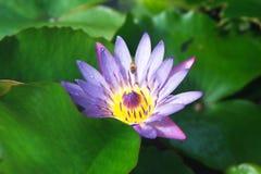 Bienen-und Wasser-Lilie Lizenzfreie Stockbilder