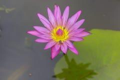 Bienen- und Wasserlilly Blume Stockfoto