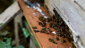 Bienen am vorderen Bienenstockeingangsabschluß oben stock video