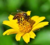 Bienen zu einer Blume Lizenzfreie Stockfotos