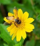 Bienen zu einer Blume Stockfotografie