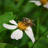 Bienen zu einer Blume Stockfotos