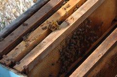 Bienen in Zypern Stockfoto