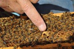Bienen in Zypern Stockfotografie