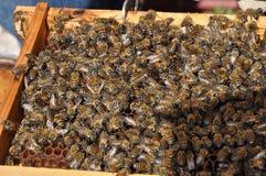 Bienen in Zypern Lizenzfreie Stockbilder