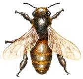 Bienenaquarellillustration, lokalisiert auf Weiß Stockfoto