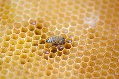 Bienenarbeit über Bienenwabe Lizenzfreies Stockfoto