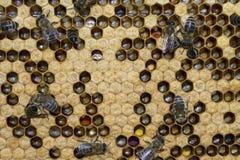 Bienenarbeit über Bienenwaben Lizenzfreies Stockbild