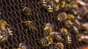 Bienenarbeit über leere Bienenwabe stock footage