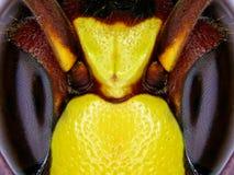 Bienenaugen Stockfoto