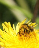 Bienenbestäubung Stockfoto