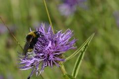 Bienenbestäubung stockfotografie
