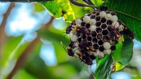 Bienenbienenstock, der am Baum hängt Stockfotos