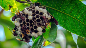 Bienenbienenstock, der am grünen Baum hängt Stockfoto