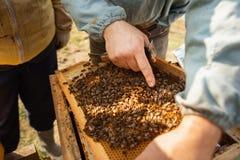 Bienenbienenstockdetail Imker arbeitet mit Bienen und Bienenst?cken auf dem Bienenhaus lizenzfreies stockbild