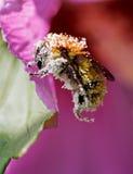 Bienenblütenstaub überzogen Lizenzfreies Stockfoto
