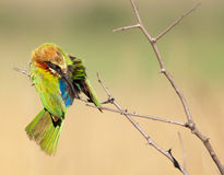 Bienenesser-Vogelreinigung Lizenzfreies Stockfoto