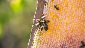 Bienenfüllebienenwabe mit Bienenwabe stock footage