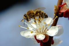 Bienenfütterung Stockfotos