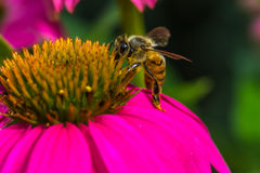 Bienenfütterung Stockfotografie