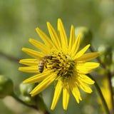 Bienenfütterung auf Blütenstaub Lizenzfreie Stockbilder
