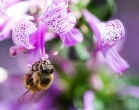 Bienenfütterung vom Bandbusch Lizenzfreie Stockbilder