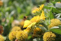 Bienenfliegen Lizenzfreies Stockbild