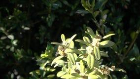 Bienenfliegen und sammeln Blütenstaub in der Zeitlupe 500fps stock video