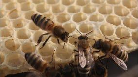 Bienengestaltbienenwaben stock video