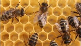 Bienengestaltbienenwaben. stock video footage