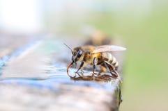 Bienengetränkwasser Stockfotografie