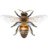 Bienenillustration, Watercolour, Zeichnung, Tinte, realistisch Lizenzfreie Stockbilder
