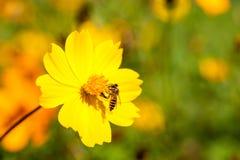 Bieneninsekt auf schöner Blume auf dem Gebiet Makro Lizenzfreie Stockfotos