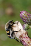 Bienenkäfer Stockbild