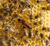 Bienenkönigin Lizenzfreie Stockbilder