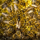 Bienenkönigin legt Eier in der Bienenwabe Stockfoto