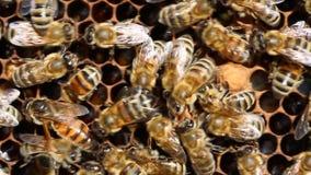 Bienenkönigin legt Eier in der Zelle stock footage
