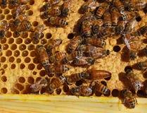 Bienenkönigin und Arbeitskräfte Lizenzfreies Stockfoto