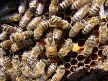 Bienenkönigin und -bienen auf Bienenwabe Lizenzfreies Stockfoto