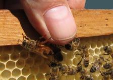 Bienenkönigin und Mensch Stockfotos