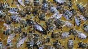 Bienenkönigin wird immer durch die Arbeitskraftbienen - ihr Bediensteter umgeben stock footage