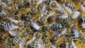 Bienenkönigin wird immer durch die Arbeitskraftbienen - ihr Bediensteter umgeben stock video