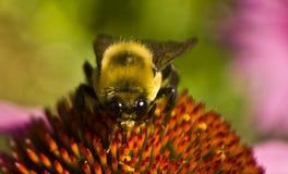 Bienenkopf sitzt an auf Echinaceablumenextrem-Abschlussschale Stockfotografie
