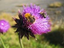 Bienenlandung auf der Distel Stockfotos