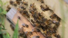 Bienenrückkehr zum Bienenstock stock video footage
