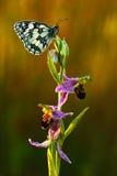 Bienenragwurz, Ophrys apifera, rosa und violette Orchidee und weißer Schmetterling, blühende europäische terrestrische wilde Orch Stockfotos