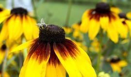 Bienensammelnhonig Stockfoto