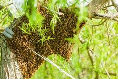 Bienenschwarm Lizenzfreie Stockfotos