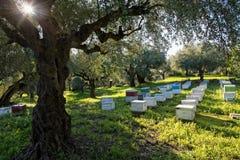 Bienenstöcke und Olivenbäume Lizenzfreie Stockfotos