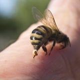 Bienenstich - eine Waffe der Verteidigung und des Angriffs Lizenzfreie Stockbilder